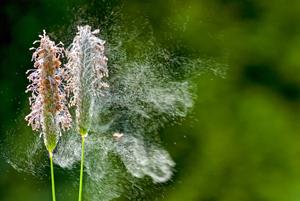 Plantes allergisantes avec pollens s'envolant au grès du vent